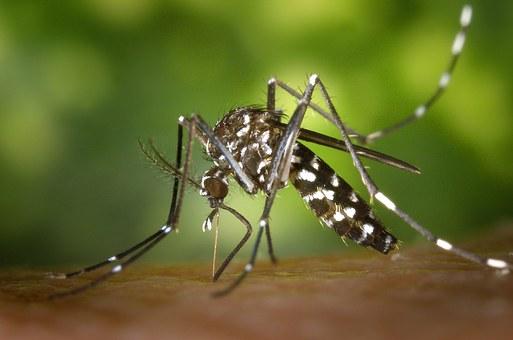 Moustiques creola
